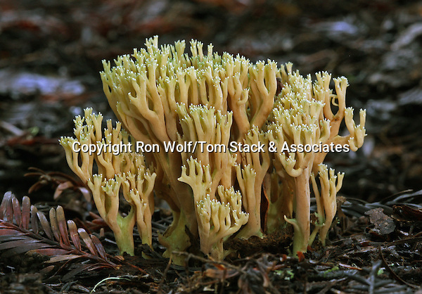 Ramaria apiculata (no common name). Portola Redwoods State Park. San Mateo Co., Calif.
