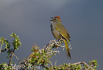 Green-tailed Towhee (Pipilo chlorurus), (male) singing in spring, Mono Lake Basin, California, USA