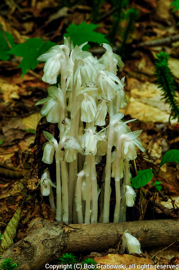 Indian Pipe, Monotropa Uniflora, Is A Perennial Plant That Has No Chlorophyll And Can Be Found Growing In The Adirondack  Mountains Of New York State