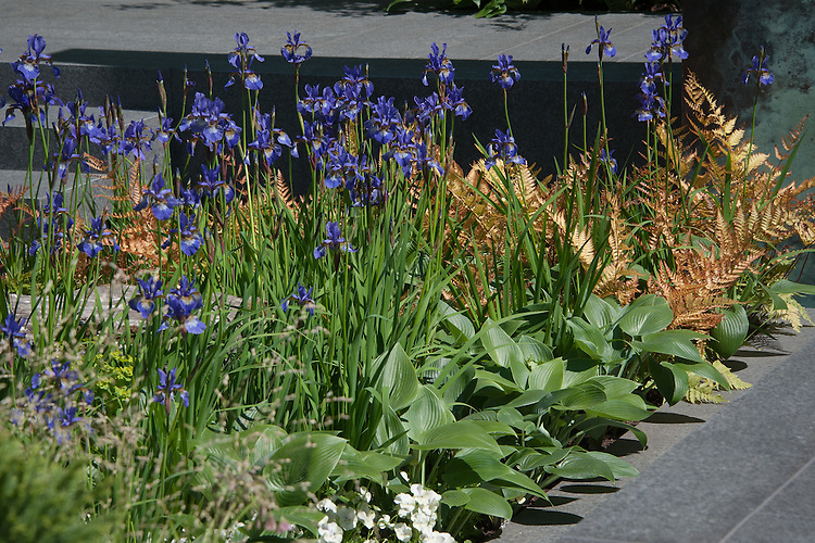 Iris sibirica 'Shirley Pope',  Dryopteris erythrosora (Copper shield fern, Japanese shield fern) and hostas. The Brewin Dolphin Garden, silver gilt medal winner at the Chelsea Flower Show, 2014. Designed by Matthew Childs.