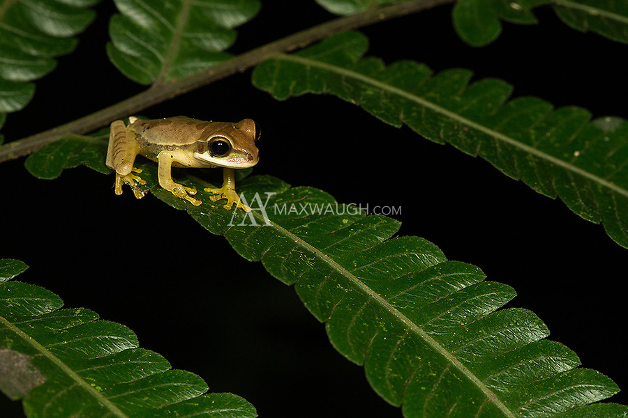 A juvenile masked tree frog hangs out on a branch at night.