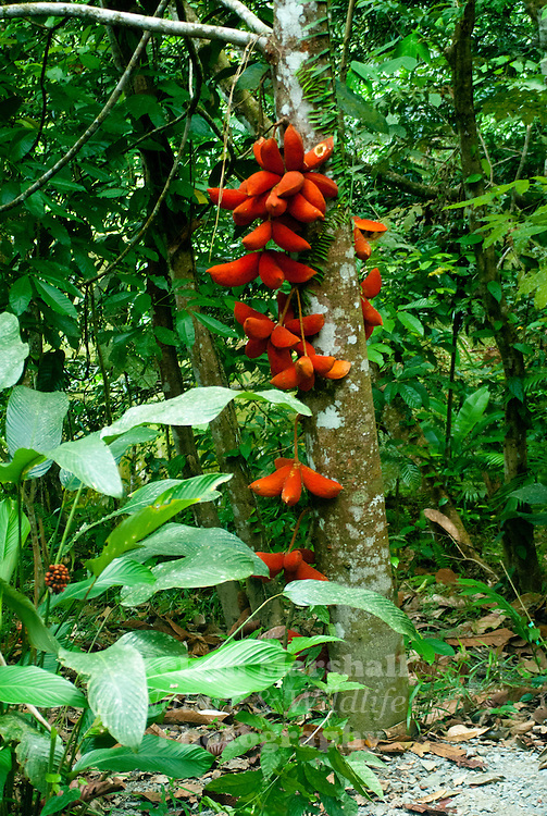 Ripe cacao pods ready to be harvested. The fruit, which will eventually be converted into chocolate, has green, yellow or maroon colored pods on the trunk of the tree and its main branches....