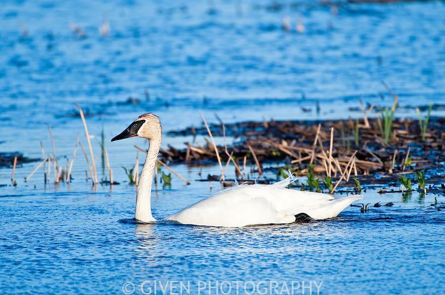 Trumpeter Swans, Oregon