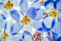 Close up of crocus flowers.