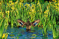 Mallard duck hen (Anas platyrhynchos) with family of young ducklings.  Hen is drying her wings.  Yellow iris--common Pacific NW pond plant.  June.