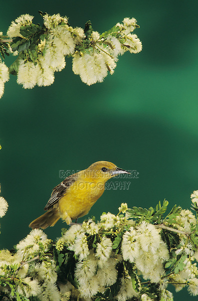 Hooded Oriole, Icterus cucullatus, female on blooming Texas Ebony (Pithecellobium flexicaule), The Inn at Chachalaca Bend, Cameron County, Rio Grande Valley, Texas, USA, May 2004