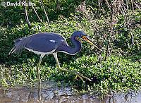 0126-08xx  Tricolored Heron Hunting for Prey with Fish in Beak, Louisiana heron, Egretta tricolor  © David Kuhn/Dwight Kuhn Photography