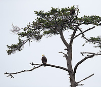 A pair of Bald eagles (see the second one?) perches in a tree in the San Juans.