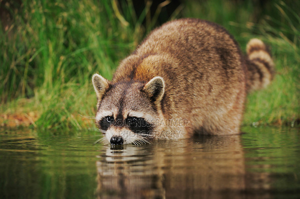 Northern Raccoon (Procyon lotor), adult at night drinking from wetland lake, Refugio, Coastel Bend, Texas, USA