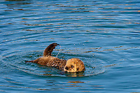 young Alaskan or Northern Sea Otter (Enhydra lutris) pup learning to swim.  At this young age they don't have the coordination or strength to swim very far.  Alaska.