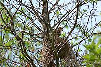 Wacholderdrossel, am Nest, Wacholder-Drossel, Turdus pilaris, fieldfare, La Grive litorne