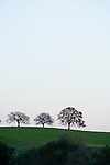 Three bare oak trees on the top of a hill, dusk, Amador County, Calif.