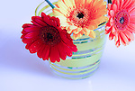 Three gerbera daisies in vase against white-blue background.