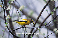 01646-00206 Evening Grosbeak (Coccothraustes vespertinus) male in plum tree, Saline Co.  IL