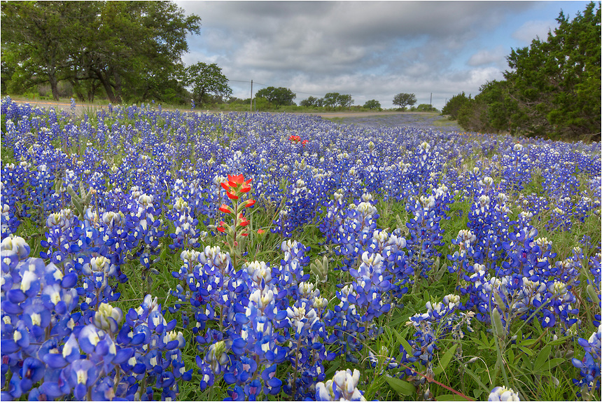 Just as you turn onto CR 3347 from RR 962, you are greeted by a splash of blue in the springtime. This bluebonnet image also included a burst of red - an Indian Blanket - a favorite of the Texas wildflowers. You have to get down low to pull out the blue, and the lighting needs to be favorable (clouds are good) - and sometimes things just work out right!