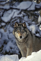Gray Wolf (Canis lupus)..Winter. Upper Great Lakes region. USA.