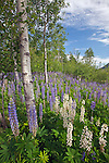 Lupine among aspen trees in the Great Meadow, Acadia National Park, Maine, USA