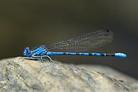 338610014 a ild male vivid dancer argia vivida perches on a rock along piru creek at frechnman's flat camground area los angeles county california