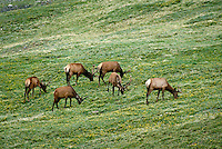 Herd of bull elk grazing. Colorado USA Trail Ridge, Rocky Mountain National Park.
