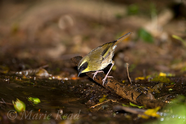Yellow-throated Scrubwren (Sericornis citreogularis), male arriving to drink at a water pool on the forest floor, Lamington National Park, Queensland, Australia