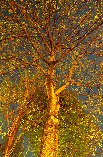 AVAILABLE FROM JEFF AS A FINE ART PRINT.<br /> <br /> AVAILABLE FROM JEFF FOR COMMERCIAL AND EDITORIAL LICENSING.<br /> <br /> Upward View of a Maple Tree (Acer sp.) with Budding Leaves on a Spring Evening, Gramercy Park, Lower Manhattan, New York City, New York State, USA.<br /> <br /> Original image photographed on 35mm transparency film.