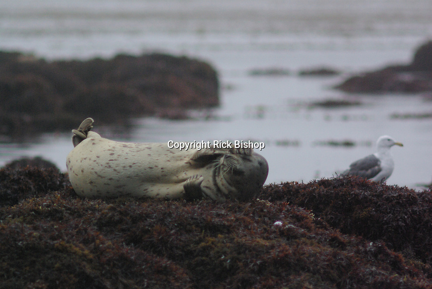 Harbor Seal rests on a moss covered rock wall the tide is low on the California Coast, near Monterey.