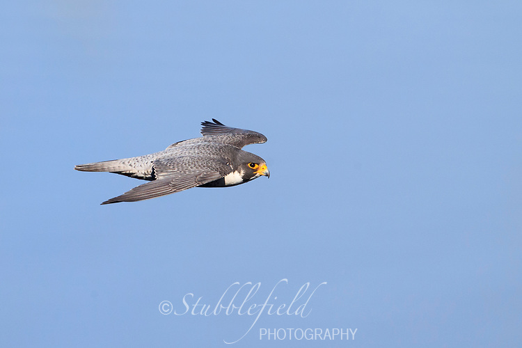 Peregrine Falcon (Falco peregrinus anatum), North American subspecies, male in flight at State Line Lookout in Palisades Interstate Park, Alpine, New Jersey.