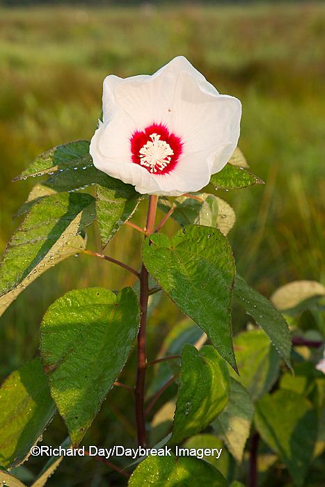 63899-05401 Rose Mallow (Hibiscus lasiocarpos)) in wetland, Marion Co., IL