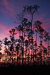 Florida Slash Pines, Everglades National Park