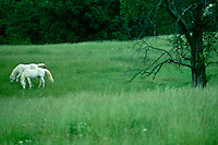 Two white Arabian horses in green field of grass grazing