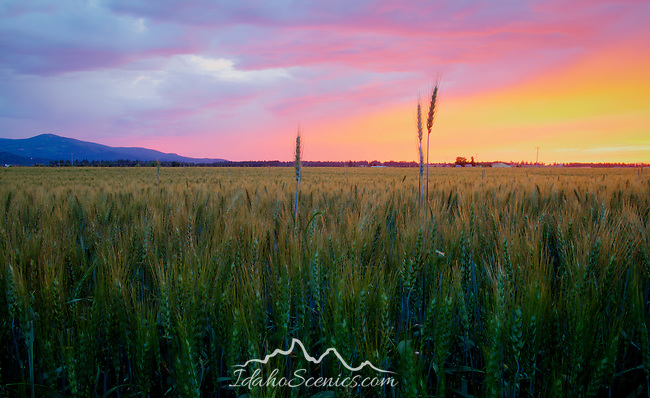 Idaho, North, Kootenai County, Coeur d'Alene. Intense colors in the sky at sunset between rain storms, over a ripening field of wheat.