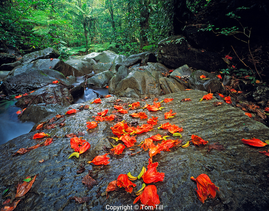 Fallen blossoms in rain forest, El Yungue Rainforest, Puerto Rico
