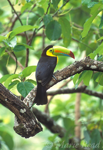 Keel-billed Toucan (Ramphastos sulfuratus), adult perched in forest, Gamboa, Panama<br /> Slide # B95-115