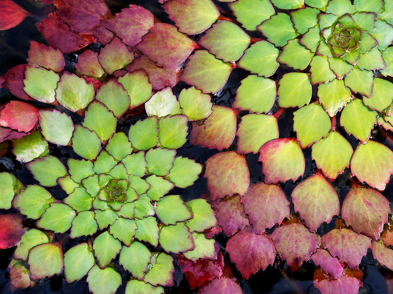 Close up of Mosaic Plant. Floating Leaves. Luguigia sedioides