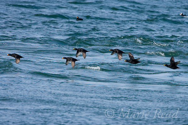 Black Scoters (Melanitta nigra) flock of males in flight, Barnegat Inlet, New Jersey, USA