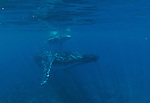 Humpbach whale with her calf,Lanai,Maui,Hawaii