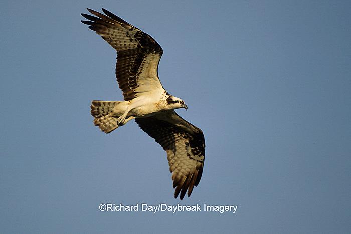00783-01004 Osprey (Pandion haliaetus) female in flight    FL