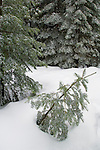 Fresh winter snow on young Fir trees at Crane Flat, Yosemite National Park, California