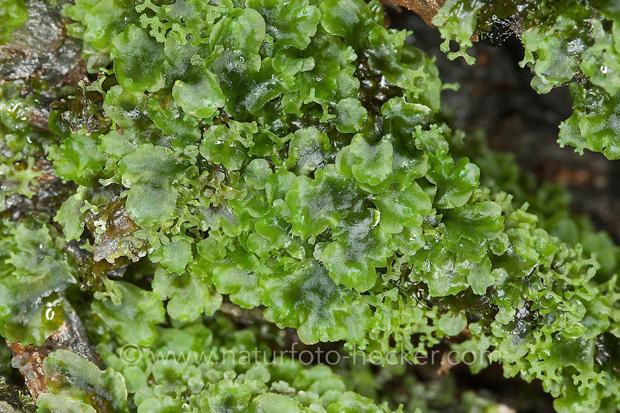 Endivienartiges Beckenmoos, Kelch-Beckenmoos, Pelliamoos, Lebermoos, Pellia endiviifolia, liverwort