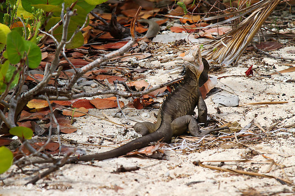 Antilles iguana - rare species on the beach