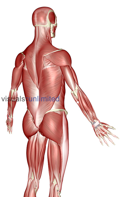 A posterolateral view (right side) of the muscles of the upper body. Royalty Free