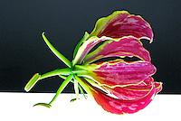 Flores. Gloriosa desfolhada (Gloriosa rotschildiana). SP. Foto de Manuel Lourenço.