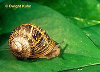 1Y08-146b  Land Snail, west coast snail shell showing growth, Helix aspersa