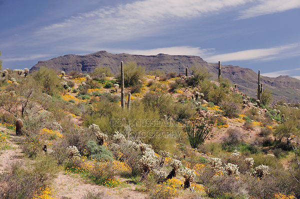 Desert in bloom with Mexican Gold Poppy (Eschscholzia californica mexicana), Saguaro Cactus (Carnegiea gigantea), Teddy Bear Cholla Cactus (Opuntia bigelovii), Tonto National Forest, Bartlett Lake , Arizona, USA