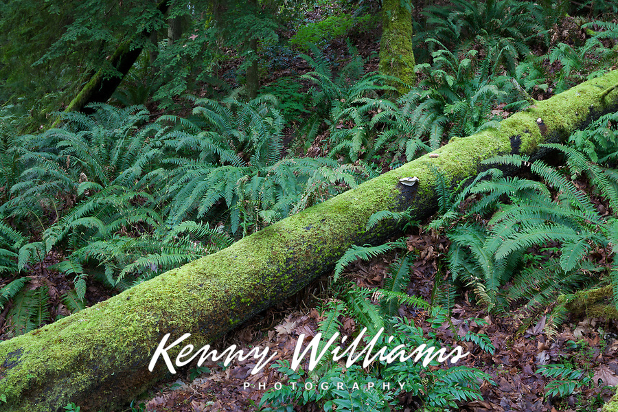 Moss Covered Log & Ferns, Cascade Mountain Range, Washington, USA.
