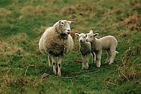 Europe/France/Bretagne/29/Finistère/Ile d'Ouessant: moutons et agneaux