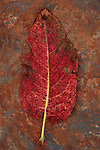 Back of single red leaf turning brown of Broad-leaved dock or Rumex obtusifolius lying on rusty metal