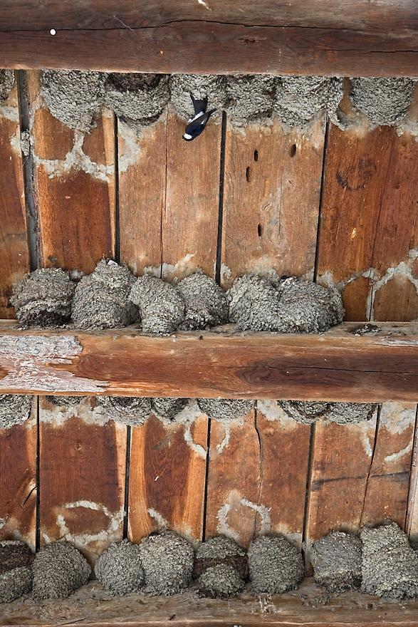 A nesting colony of house martin (Delichion urbica). Mužilovčica village. Lonjsko Polje Nature Park. Ramsar Site. Sisack-Moslavina county. Slavonia region. Posavina area. June 2009. Croatia. 1<br /> Elio della Ferrera / Wild Wonders of Europe