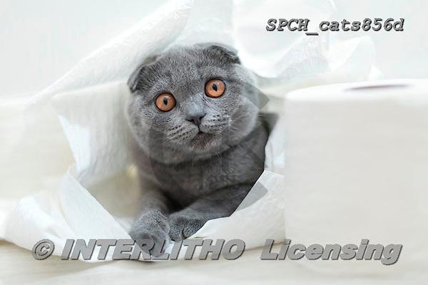 Xavier, ANIMALS, REALISTISCHE TIERE, ANIMALES REALISTICOS, cats, photos+++++,SPCHCATS856D,#a#