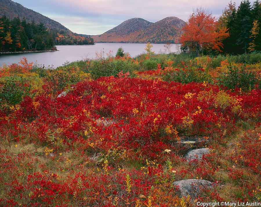 Acadia National Park, OR: Fall colored blueberry bushes near Jordan Pond with the Bubbles in the distance